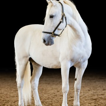 South African Lipizzaners Get International Attention